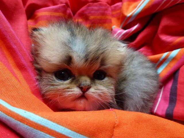 #persian #cat #kitty aww it looks frightened :-(