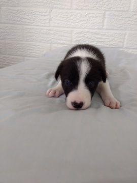 Litter of 8 Border Collie puppies for sale in PLATTSBURG, MO. ADN-45132 on PuppyFinder.com Gender: Female. Age: 3 Weeks Old