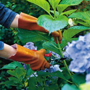 Cut and care for hydrangea