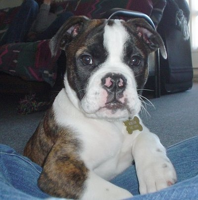 Valley Bulldog - our dream pup! He'd make a great farm dog
