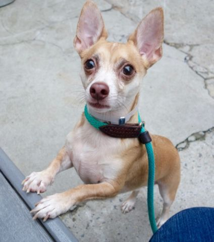 PEPE - A0920943 - - Manhattan  Please Share:TO BE DESTROYED 10/04/16 A volunteer writes: I love PEPE!!!!! That might be a flat comment but it is just the naked truth…I met him a few years ago, a spunky little guy, close to puppyhood …He was famous back then and even appeared on an NBC show…Pepe was adopted very quickly and lived a happy life amidst children and even a cat…Sadly, his owners moved to a new home not allowing pets and Pepe is back with u