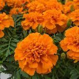 Marigold Chica Orange