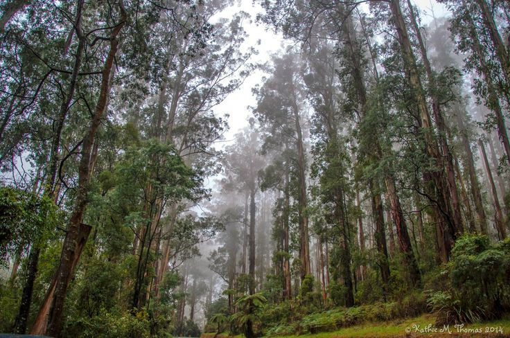 Majestic Mountain Ash Trees in the Dandenong Ranges