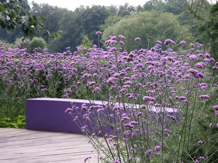 Bloemen als een gordijn tussen de woonkamer en het terras? Meer groenbeleving? Verbena bonariensis