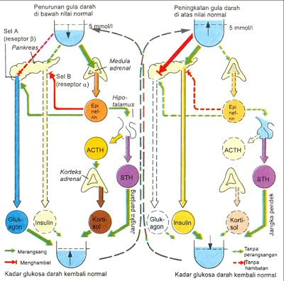 Dalam mempertahankan keseimbangan di dalam tubuh, tingkat gula darah diatur melalui umpan balik negatif. Pankreas bertugas untuk memonitor level...