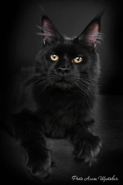 Черный кот породы мейн кун.