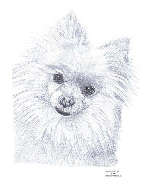 POMERANIAN dog pencil drawing Limited Edition picture art ...