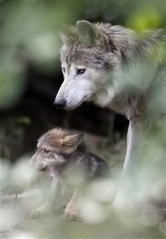 photobucket.com wolves
