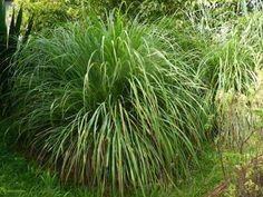 Plusieurs plantes sont efficaces pour éloigner les moustiques qui transmettent le zika, la dengue ou le chikungunya