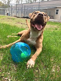 Pictures of Hooch a Mastiff for adoption in Harrisville, RI who needs a loving home.