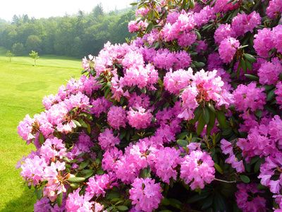 Rhododendron: Pflege, Wuchs, Schneiden, Standort