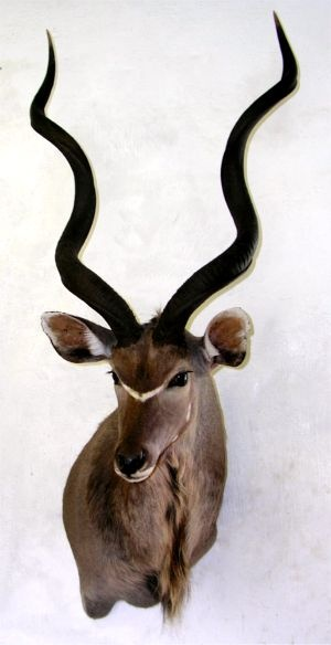 kudu drop shoulder mount - Google Search