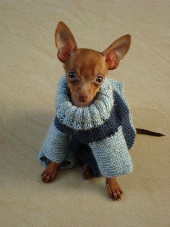 Вязание: одежда для той-терьера (одежда для собак, вязание) ФОТО #4