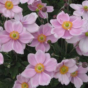 Japanese_Windflower_Pink_15_ST