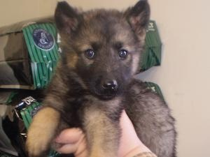 Shepherd/Elkhound MIx is an adoptable German Shepherd Dog Dog in Sylva, NC. Five pups were born January 17th to an owned , mother dog (Purebred German Shepherd) and an Elkhound father dog. On March 2...