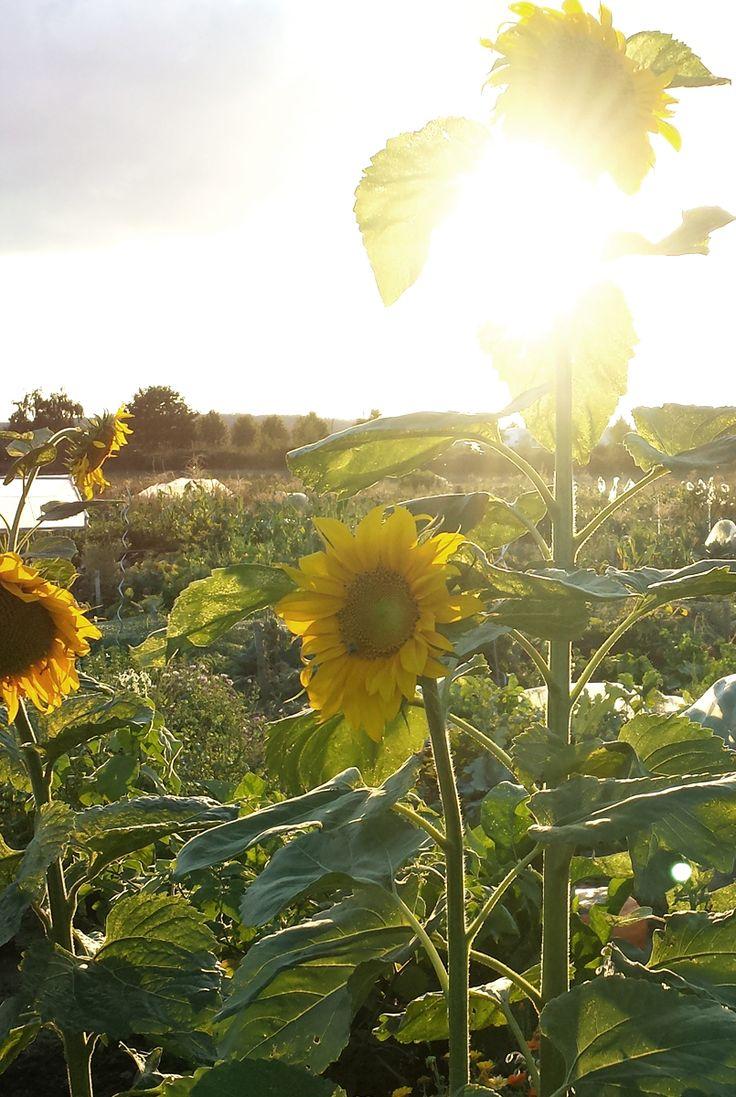 Die Wirkung der Sonne im Garten - Sonnenblumen
