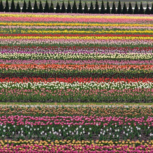 #上湧別チューリップ公園 最後の一枚です  園内には120万本とも言われる#チューリップ がまるで#絨毯 のように見事に咲いていました また来年も機会があれば行きたいな(^_^) ちなみにこの撮影旅はまだ終わりません(笑)  あ、タイトル「#カラーバー 」では味気ないですか?^_^; #北海道 #北海道likers3周年 #上湧別 #公園 #花 #花畑 #風景 #自然 #札幌写真倶楽部 #hokkaido #hokkaidolikers #tulips #flowers #colorful #colors #landscape #park #nature #icu_japan #ig_hokkaido #ig_flowers #canon_photos