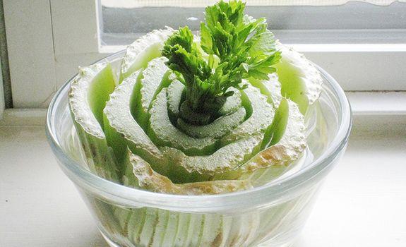 10 légumes quon peut faire repousser = Lorsque vous coupez le coeur du céleri avant de le mettre au frigo, ne le jetez plus! Placez plutôt le cœur dans un bol avec un peu d'eau dans le fond, puis déposez le bol sur le bord d'une fenêtre. Pas une mauvaise idée de le faire pousser soi-même, surtout lorsqu'on sait que le céleri est l'un des légumes cultivés avec le plus de pesticides!