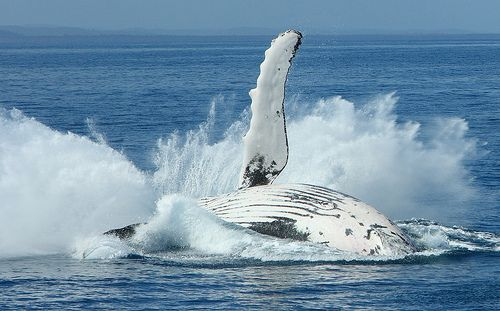 Sweet moves by the whales in Hervey Bay. #WhaleWatching