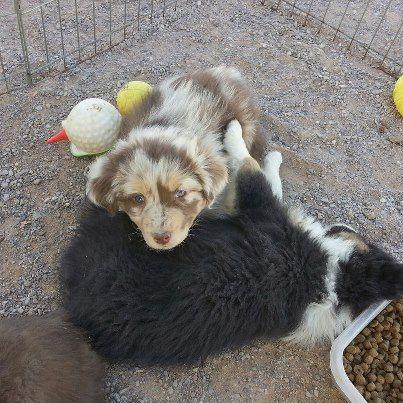 The Aussie pup I kept from the littler I bred in Jan.  SweetNSassy's Jailhouse Rock! #australian #shepherd