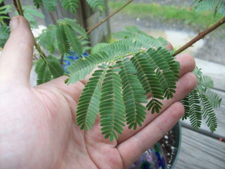Jurema - Mimosa hostilis