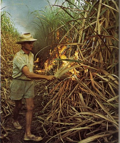 Firing The Cane, 1973  Burning the trash off sugar cane prior to harvesting.
