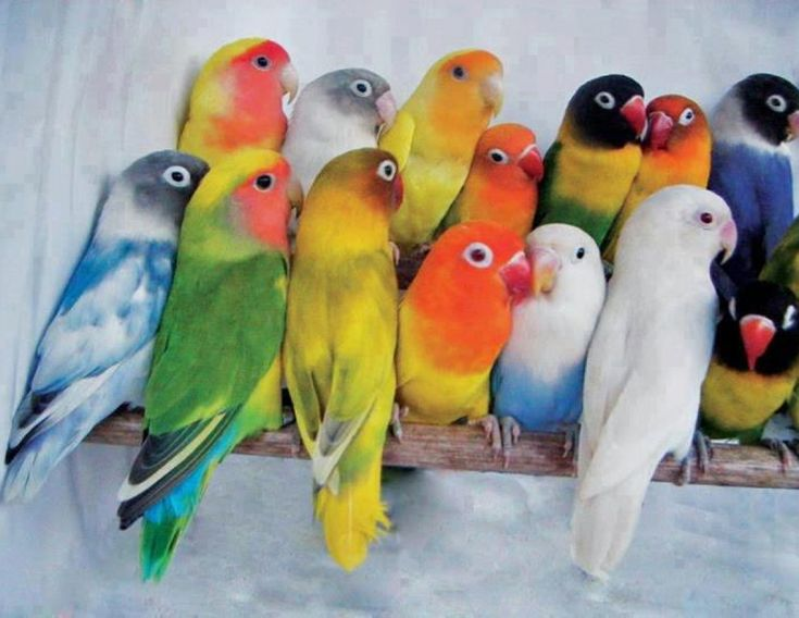 Peachface, Fischer's, Masked Lovebirds (Agapornis). Color courtesy of nature…