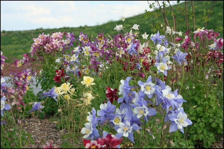 The columbine plant is an easytogrow perennial that offers seasonal interest throughout much of the year. Learn how to care for columbine plants in this article and enjoy their longlasting appeal.