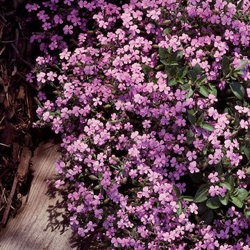 Soapwort - Saponaria officinalis  A cinch to grow. Features clusters of phlox-like pink, purple, or white flowers in summer and fall. Full sun and well-drained soil. To 2 feet tall and wide. Grow with Yarrow; both are low-care, sun-loving perennials. Zones 3-9