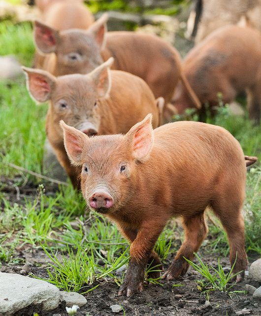 We are Tamworth pigs. A fine breed. Nice colour don't you think? Don't believe the story that we are the result of our distant relatives being over-friendly with the corgis from Wales.