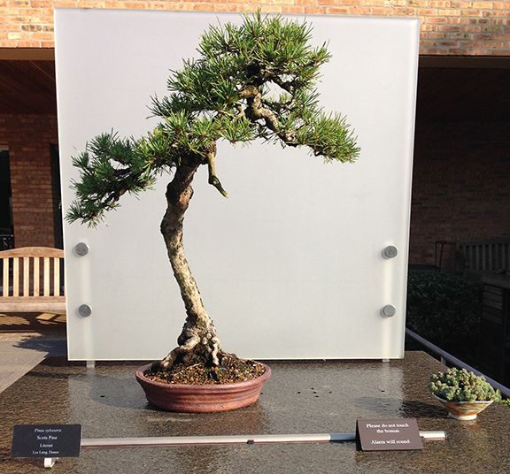 860 best images about bonsai on pinterest bonsai trees for Literati bonsai gallery