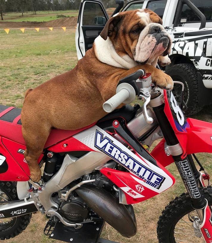 English Bulldog Breed Funny Nature Puppies Bulldog Bulldog