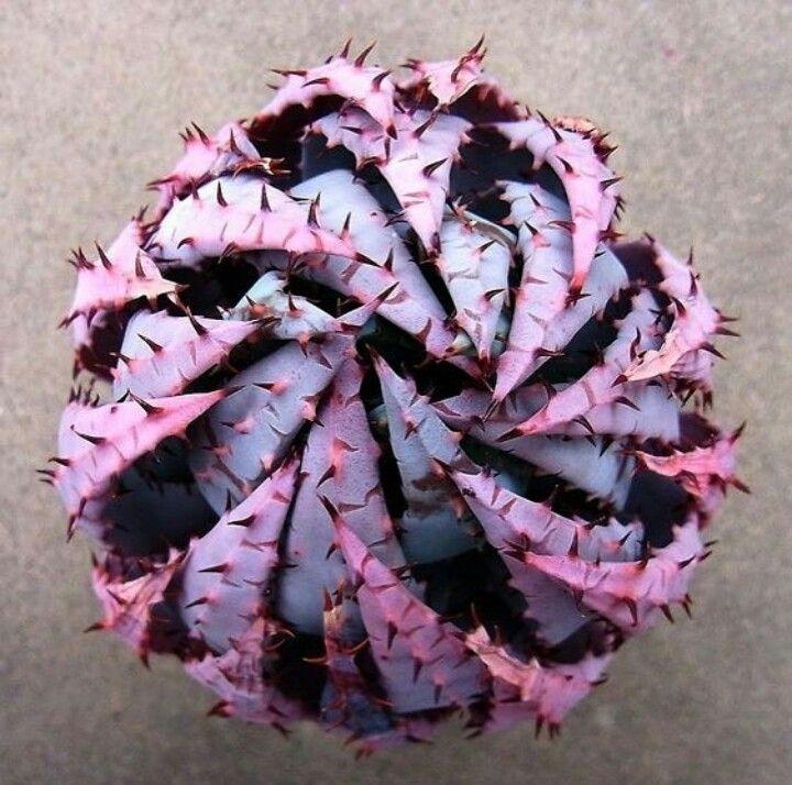 Peglerae Aloe  Es una pequeña planta carnosa sin tallo con 30-40 cm de diámetro con hojas glaucas, fuertemente curvadas formando una compacta roseta esférica. Las inflorescencias, en julio y agosto, son espigas cilíndricas de 30-40 cm de altura. Los visibles filamentos de las flores le hacen parecer de color púrpura.