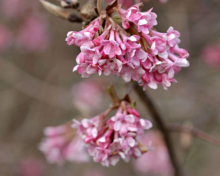 Connaissez-vous les viornes d'hiver ? Ces arbustes qui peuvent atteindre 2 à 3 mètres de hauteur vont vous ravir au coeur de la mauvaise saison quand il n'y a plus beaucoup de végétaux en fleurs dans le jardin. En effet,au beau milieu de l'hiver, une multitude de fleurs se développent sur les viornes.Vous pourrez même en profiter pour en cueillir quelques-unes pour faire des bouquets. Et, cerise sur le gâteau, ces arbustes donnent des fleurs roses ou blanches qui dégagent un délicat...