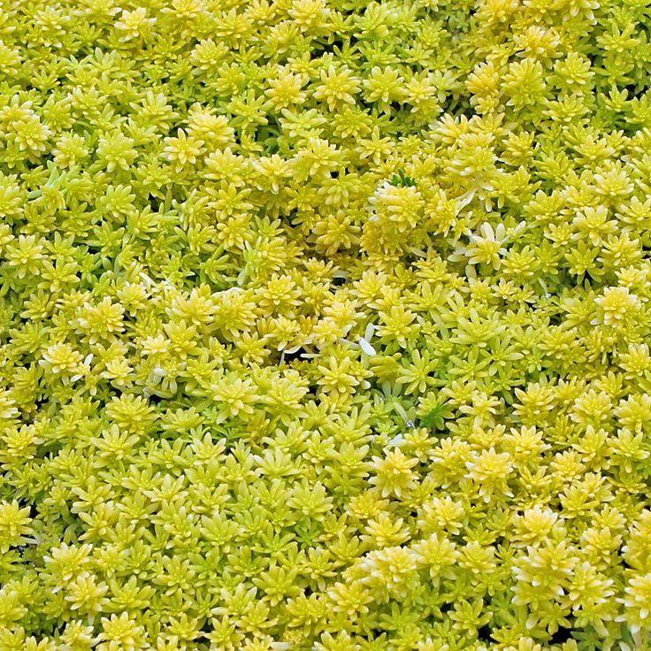 39 best succulent groundcover images on pinterest succulents sedum japonicum tokyo sun mightylinksfo