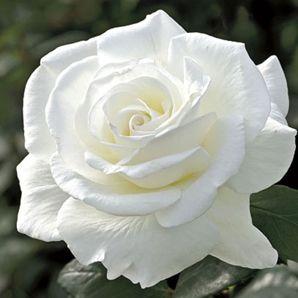 Rosa blanca abierta #rosa #blanca #natural