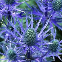 Eryngium Oliverianum (Sea Holly) thrives in windy salty spots