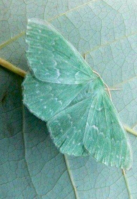 mint.quenalbertini: Mint butterfly