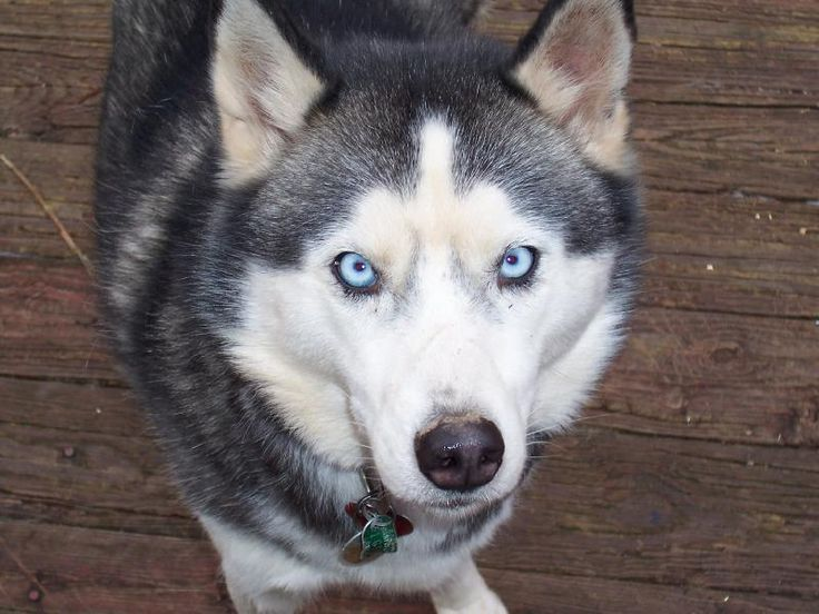 We had a Siberian Husky with the most beautiful crystal blue eyes - we named her Jenna after the movie Balto. Picture from en.wikipedia.org