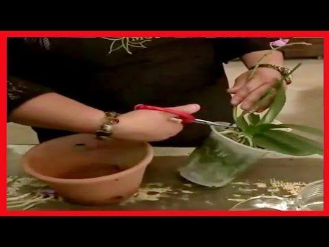 Como Cuidar Orquideas ➜ Especialista Ensina Como Cuidar Das Orquídeas em Casa Para Durarem Anos ! - YouTube