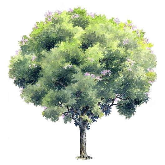 Elevation And Plan Of Trees : Best for rendering plant images on pinterest