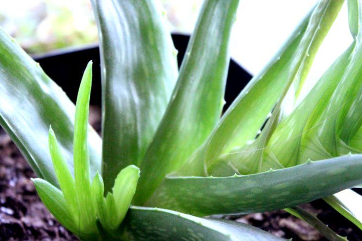 The Benefits of Using Aloe Vera