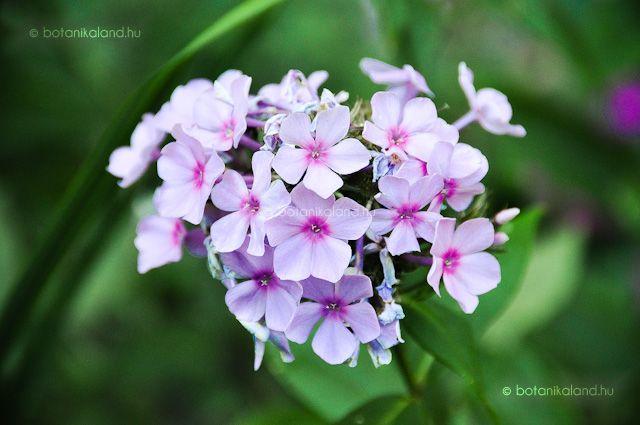 Bugás Lángvirág (Phlox Paniculata) gondozása, szaporítása (Flox)