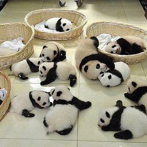 Panda daycare!