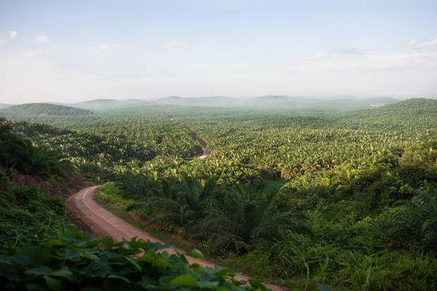 Monoculture de palmiers à huile, C'est la troisième forêt tropicale du monde, encore plus menacée que l'Amazonie et régulièrement ravagée par les flammes. Chaque minute, on déboise en Indonésie une surface équivalant à six terrains de football. Pointés du doigt : les géants de l'huile de palme. Mais cette industrie qui fait vivre vingt millions d'indonésiens n'est pas la seule responsable de ce désastre . Enquête.A la sortie de Beruta, la monoculture de palmier s'étend à perte de vue. En…