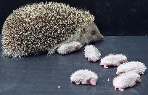 ♥ Mama Hedgehog and babies. Too cute.