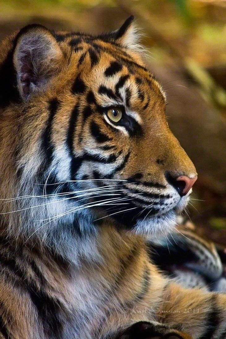 Sumatran tiger portrait by *KarlDawson. I always have a silent respect for these amazing animals... ❤️