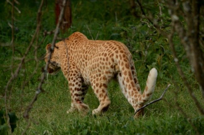VIDEO: Collared red leopard earns spot in history | Steelburger / Lydenburg News