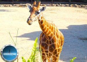 Giraffe im Taronga Zoo von Sydney / Australien Opera House in Sydney / Australien Uhrzeit Syndey und weitere Infos, Bilder und Videos über Australien auf http://uhrzeiten.biz/