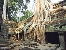 """The trees growing out of the ruins are perhaps the most distinctive feature of Ta Prohm, and """"have prompted more writers to descriptive excess than any other feature of Angkor.""""   Angkor scholar Maurice Glaize observed, """"On every side, in fantastic over-scale, the trunks of the silk-cotton trees soar skywards under a shadowy green canopy, their long spreading skirts trailing the ground and their endless roots coiling more like reptiles than plants."""""""